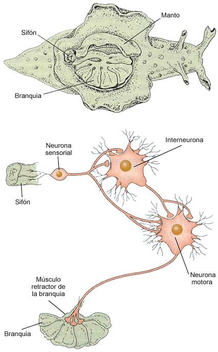 Representación de la fisiología de la Aplysia californica. Fuente: Adaptado de Squire y Kandel, 2009