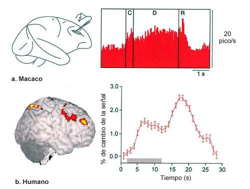 En la parte superior de la figura se muestra el registro electrofisiológico de la corteza prefrontal de un macaco Rhesus, mientras que en la imagen inferior se muestra la actividad de las neuronas de la corteza prefrontal en un ser humano mediante la técnica de resonancia magnética funcional. En ambos casos se lleva a cabo una tarea de respuesta demorada. La actividad sostenida en las neuronas de la corteza prefrontal refleja el papel de esta región en el mantenimiento de representaciones específicas de los estímulos que deben mantenerse durante el período de demora. Además, se ha podido comprobar que neuronas individuales de esta región cortical son selectivas para estímulos concretos.