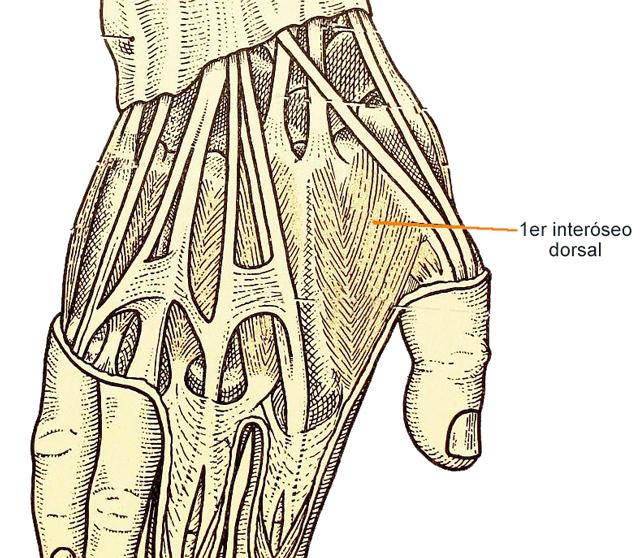 Figura 8. Primer músculo interóseo dorsal, músculo cuya activación permite fijar el umbral motor